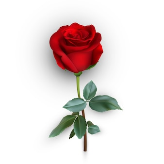 Rosa realistica su sfondo, illustrazione