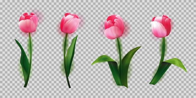 I tulipani realistici hanno messo l'illustrazione bella dei germogli