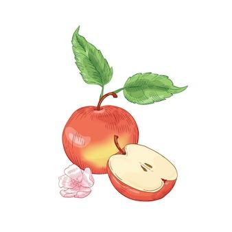 Illustrazione disegnata a mano di mela rossa. tutta la frutta rossa e mezza tagliata con fiori e foglie isolati su bianco. alimentazione sana, prodotto biologico