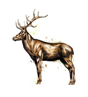 Cervo rosso da una spruzzata di acquerello