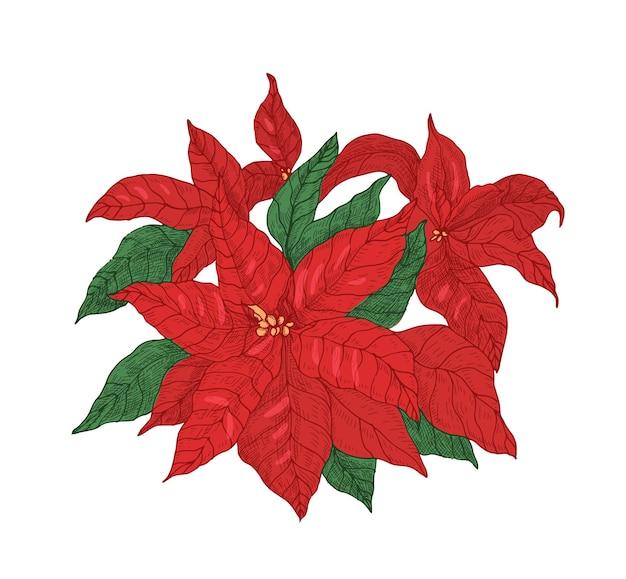 Pianta rossa del poinsettia con foglie e brattee disegnate a mano con linee di contorno su uno spazio bianco