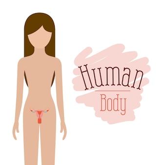 Sistema riproduttivo corpo umano