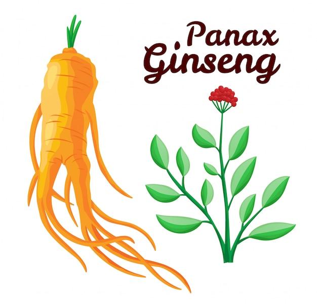 Radice e foglie di panax ginseng. uno stile di vita sano. per la medicina tradizionale, il giardinaggio. gli additivi biologici lo sono. illustrazione piatta colorata di piante medicinali. isolato su sfondo bianco