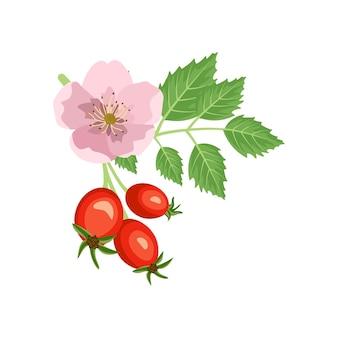 Ramo di rosa canina con fiori di rosa e bacche. fonte di vitamina c. frutti rossi con foglie verdi.