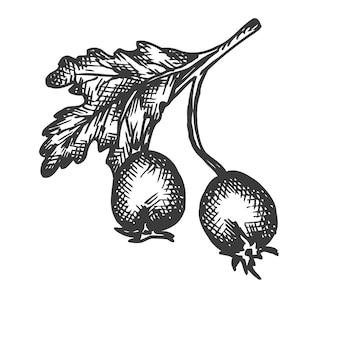 Illustrazione disegnata a mano di rosa canina.
