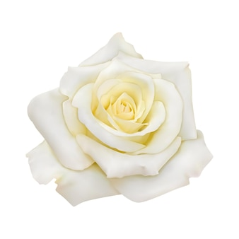 Rosa con petali bianchi