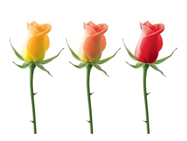 Rose isolate su bianco illustrazione realistica