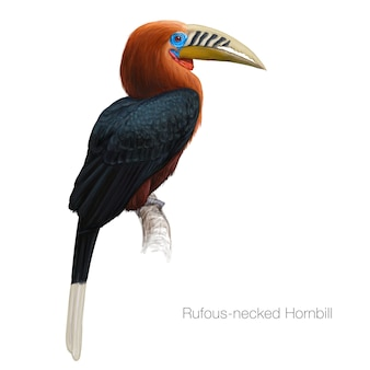 Rufousnecked hornbill illustrazione dettagliata