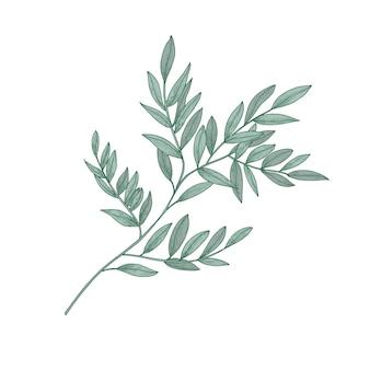 Rametto di ruscus con foglie verdi isolato