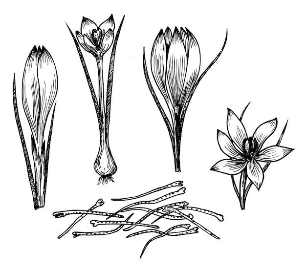 Disegno di fiori di zafferano. fiore di zafferano e stami di zafferano. spezie di erbe e cibo disegnati a mano. sapore vintage inciso. ottimo per imballaggio, etichetta, icona.