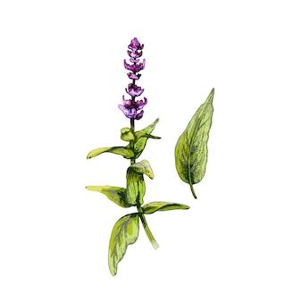 Rami verdi freschi di salvia con fiori e foglie. illustrazione disegnata a mano di colore di tratteggio di vettore dell'annata isolata su fondo bianco