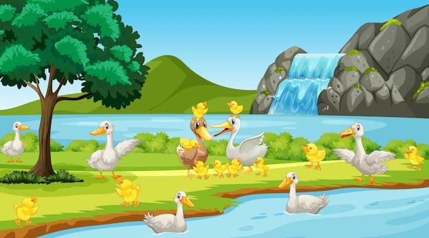 Scena con molte anatre sul fiume