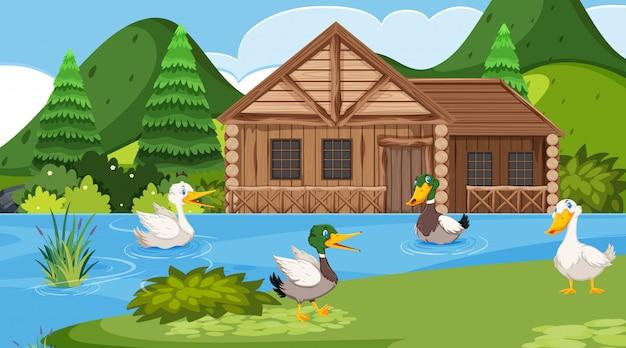 Scena con cottage in legno nel campo e molte anatre nel lago