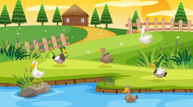 Scena con cottage in legno nel campo e molte anatre nel fiume