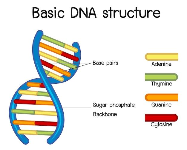 Poster di scienza della struttura del dna di base
