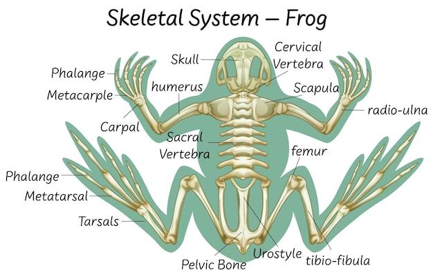 Educazione scientifica dell'anatomia della rana