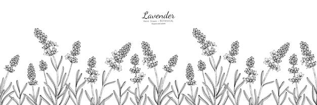 Modello senza cuciture illustrazione botanica disegnata a mano di fiori e foglie di lavanda con line art.