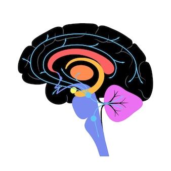 Via della serotonina nel cervello umano. neurotrasmettitore monoaminico. modulante vettore piatto di umore.