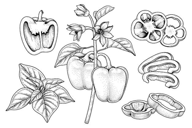 Insieme dell'illustrazione botanica degli elementi disegnati a mano del peperone