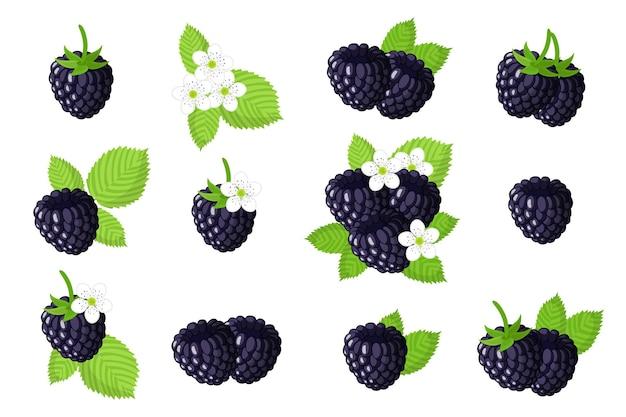 Set di frutti esotici blackberry isolato su bianco