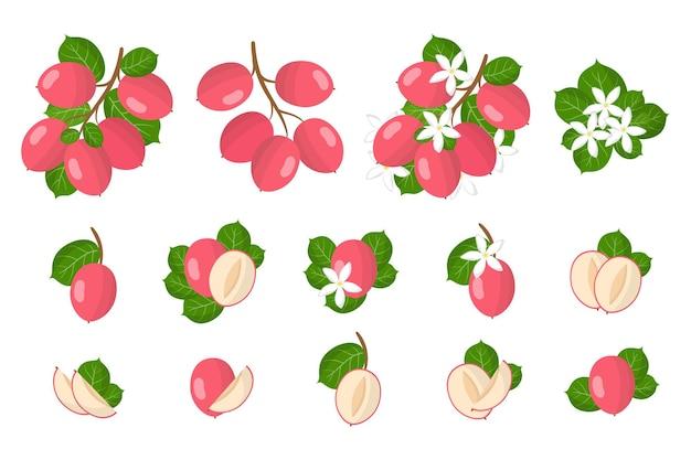 Set di frutti esotici carissa isolato su bianco