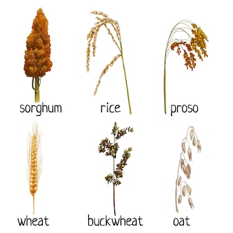 Impostare le orecchie delle piante di cereali con grano e foglia. grano saraceno, frumento, avena, proso, riso, sorgo. illustrazione di tratteggio disegnata a mano dell'annata di colore di vettore isolata su un fondo bianco.