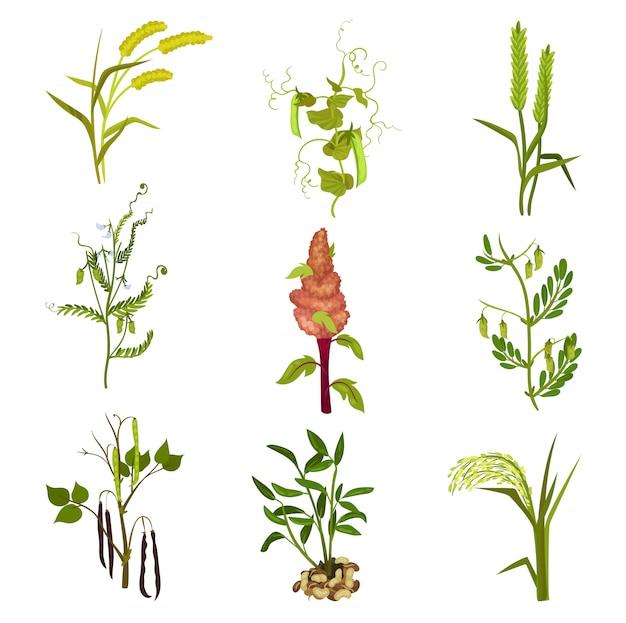 Insieme di piante di cereali e legumi. coltura agricola. tema agricolo. elementi per l'imballaggio del prodotto