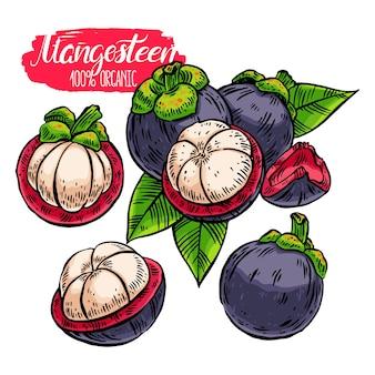 Set di mangostano colorato. illustrazione disegnata a mano