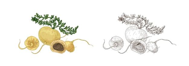 Serie di disegni colorati e monocromatici di maca o ginseng peruviano. raccolto di radice fresca, verdura biologica, superfood per una sana alimentazione disegnata a mano su sfondo bianco. illustrazione vettoriale realistico.