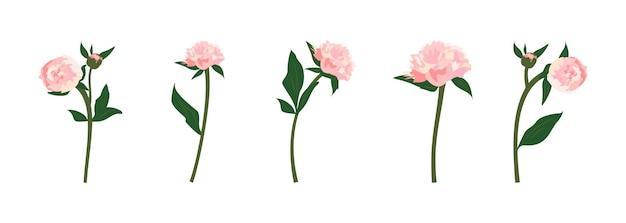Set di delicati fiori di peonie rosa primaverili ed estivi con steli, foglie e boccioli. decorazione per biglietti, matrimoni, vacanze e altri disegni. illustrazione piatta vettoriale