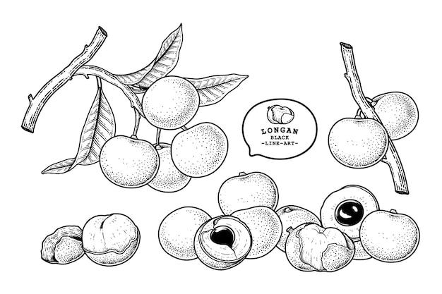 Insieme dell'illustrazione botanica degli elementi disegnati a mano della frutta di dimocarpus longan