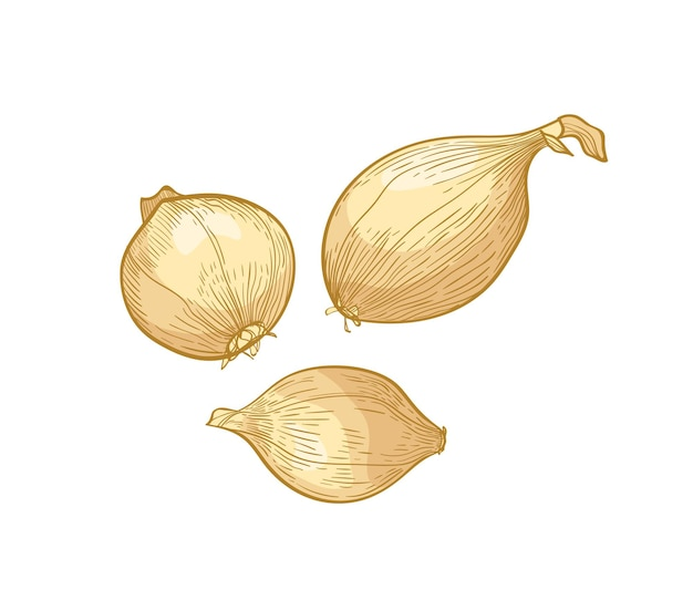 Set di eleganti disegni dettagliati di bulbi di cipolla. verdure mature organiche fresche crude, raccolto commestibile o cultivar disegnato a mano su fondo bianco. illustrazione vettoriale realistico naturale in stile vintage.