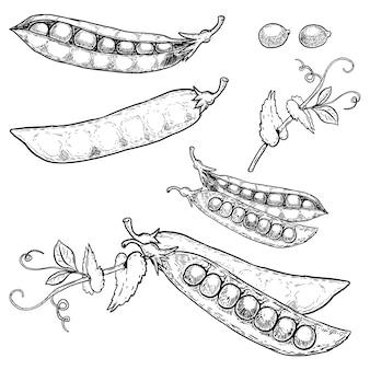 Insieme delle illustrazioni disegnate a mano dei piselli su fondo bianco. immagine