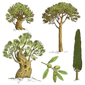 Set di alberi disegnati a mano cipresso italiano e pino cembro, pinea, oliva illustrazione vettoriale isolato, simboli incisi del sud, sempreverde