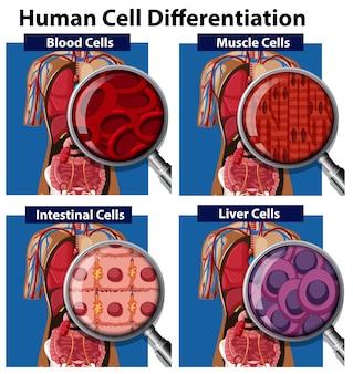 Un insieme di differenziazione delle cellule umane