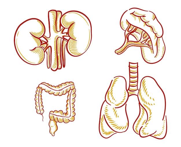 Set di illustrazione di organi umani per elemento di design