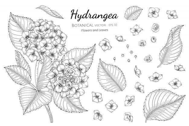 Insieme dell'illustrazione botanica disegnata a mano del fiore e della foglia dell'ortensia con la linea arte