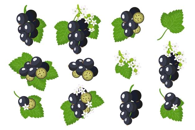 Serie di illustrazioni con frutti esotici di blackcurrent, fiori e foglie isolati su sfondo bianco.