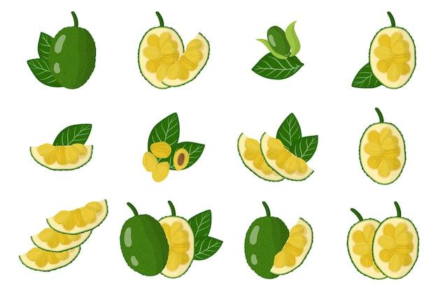 Serie di illustrazioni con frutti esotici jackfruit, fiori e foglie isolati