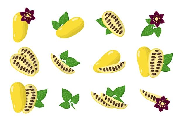 Serie di illustrazioni con frutti esotici lardizabala, fiori e foglie isolati