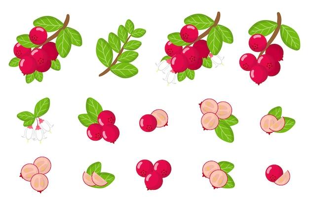 Serie di illustrazioni con mirtilli rossi frutti esotici, fiori e foglie isolati