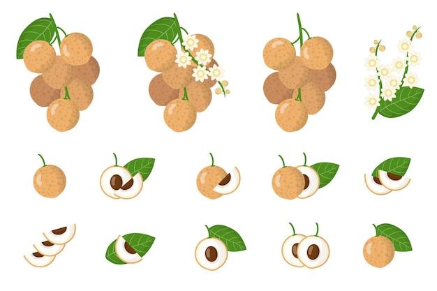 Serie di illustrazioni con frutti esotici longan, fiori e foglie isolati
