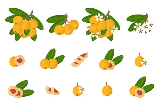 Serie di illustrazioni con frutti esotici nespole del giappone, fiori e foglie isolati