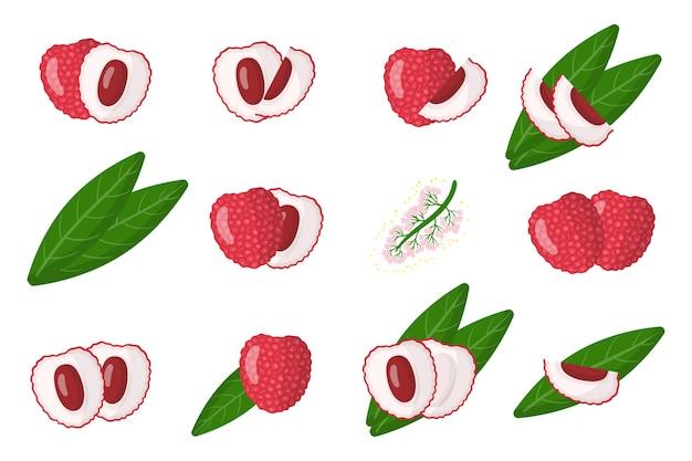Serie di illustrazioni con litchi frutta esotica, fiori e foglie isolati
