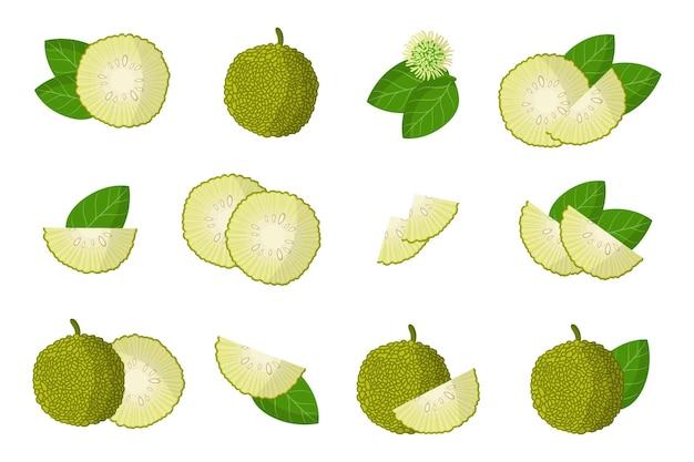 Serie di illustrazioni con frutti esotici maclura, fiori e foglie isolati