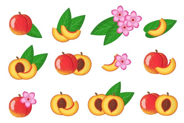 Serie di illustrazioni con frutta esotica nettarina, fiori e foglie isolati