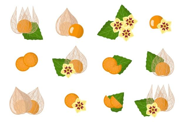 Serie di illustrazioni con physalis peruviana frutti esotici, fiori e foglie isolati