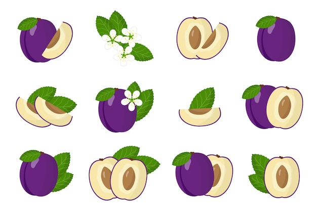 Serie di illustrazioni con frutti esotici di prugna, fiori e foglie isolati