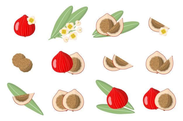 Serie di illustrazioni con frutti esotici quandong, fiori e foglie isolati
