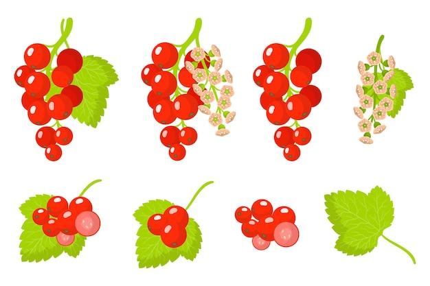 Serie di illustrazioni con frutti esotici di ribes, fiori e foglie isolati